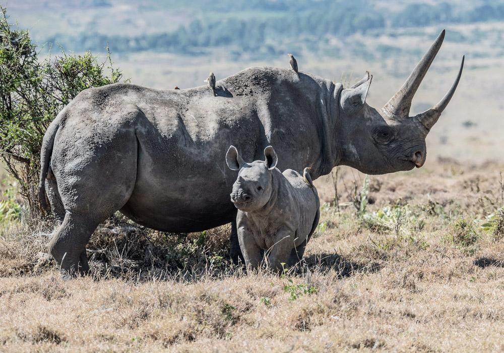 Endangered Black Rhino Baby Lewa Conservancy