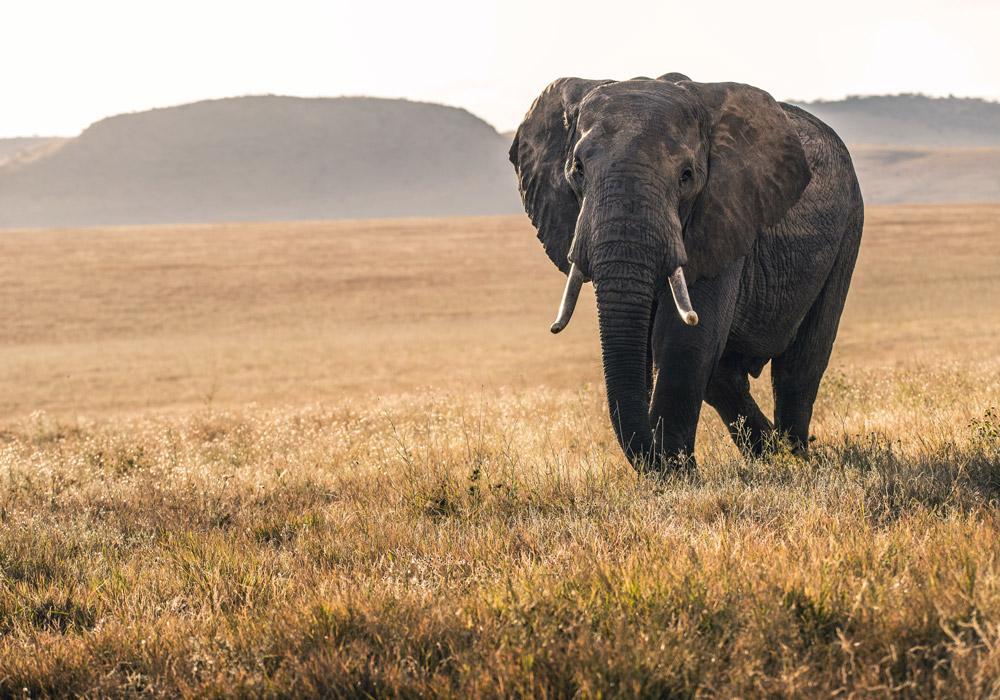 Elephant on Lewa Conservancy